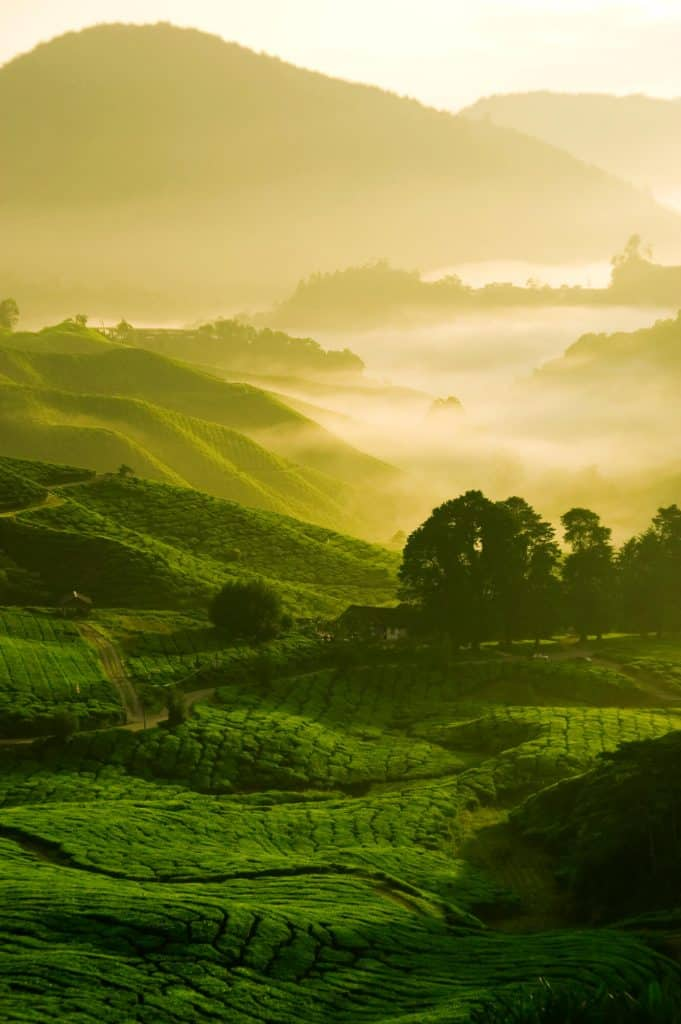 Green fields of tea leaves