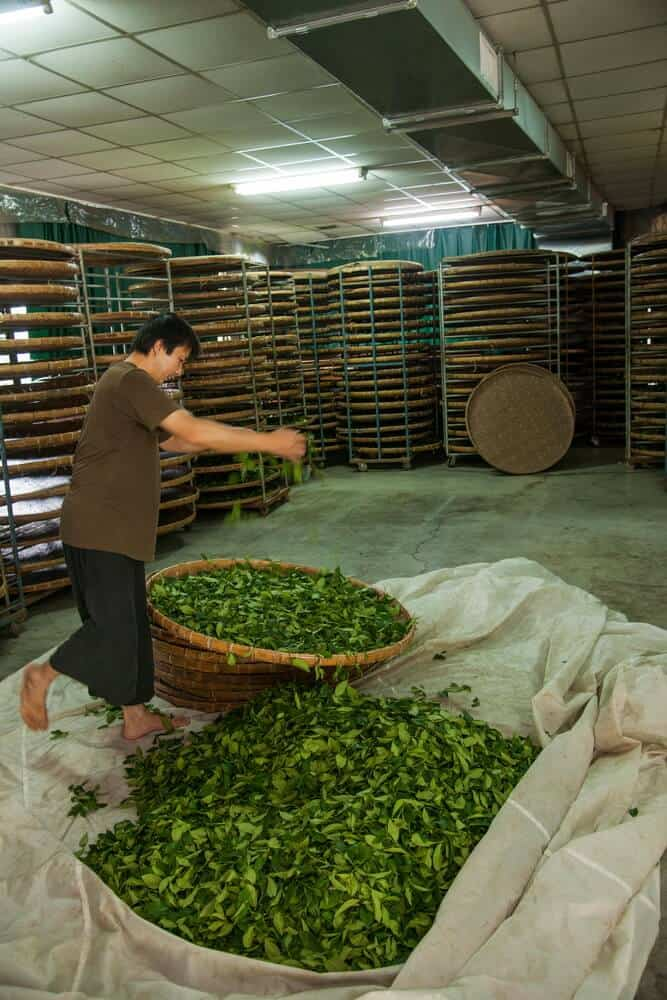 tea processing in China