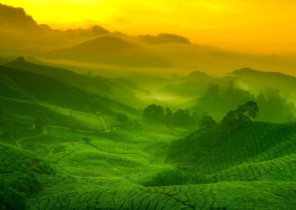 where is tea grown