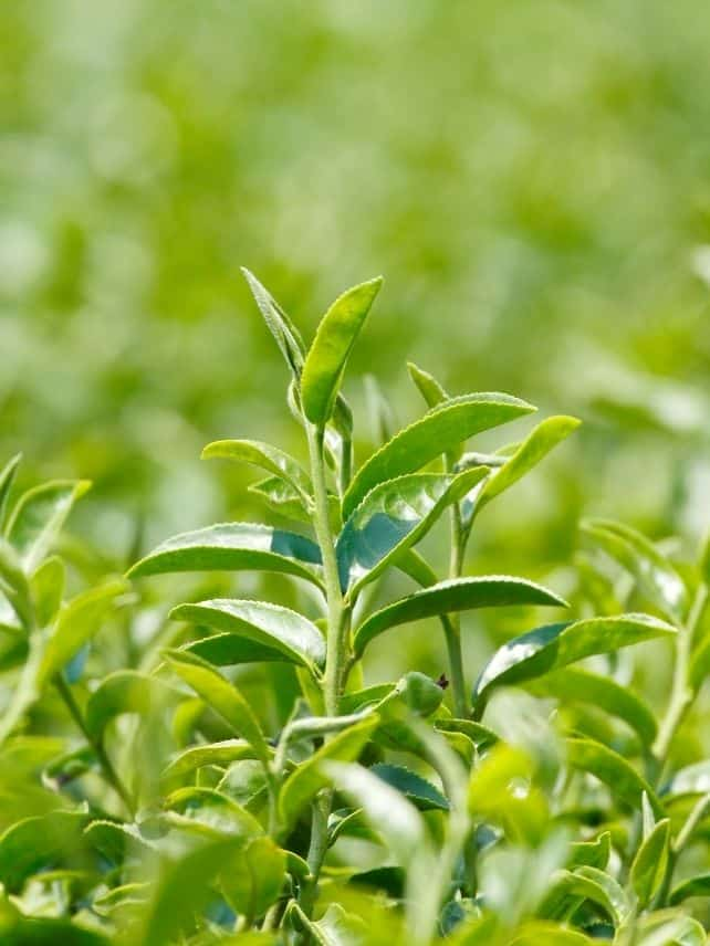 Camellia Sinensis is the plant that tea is made from.