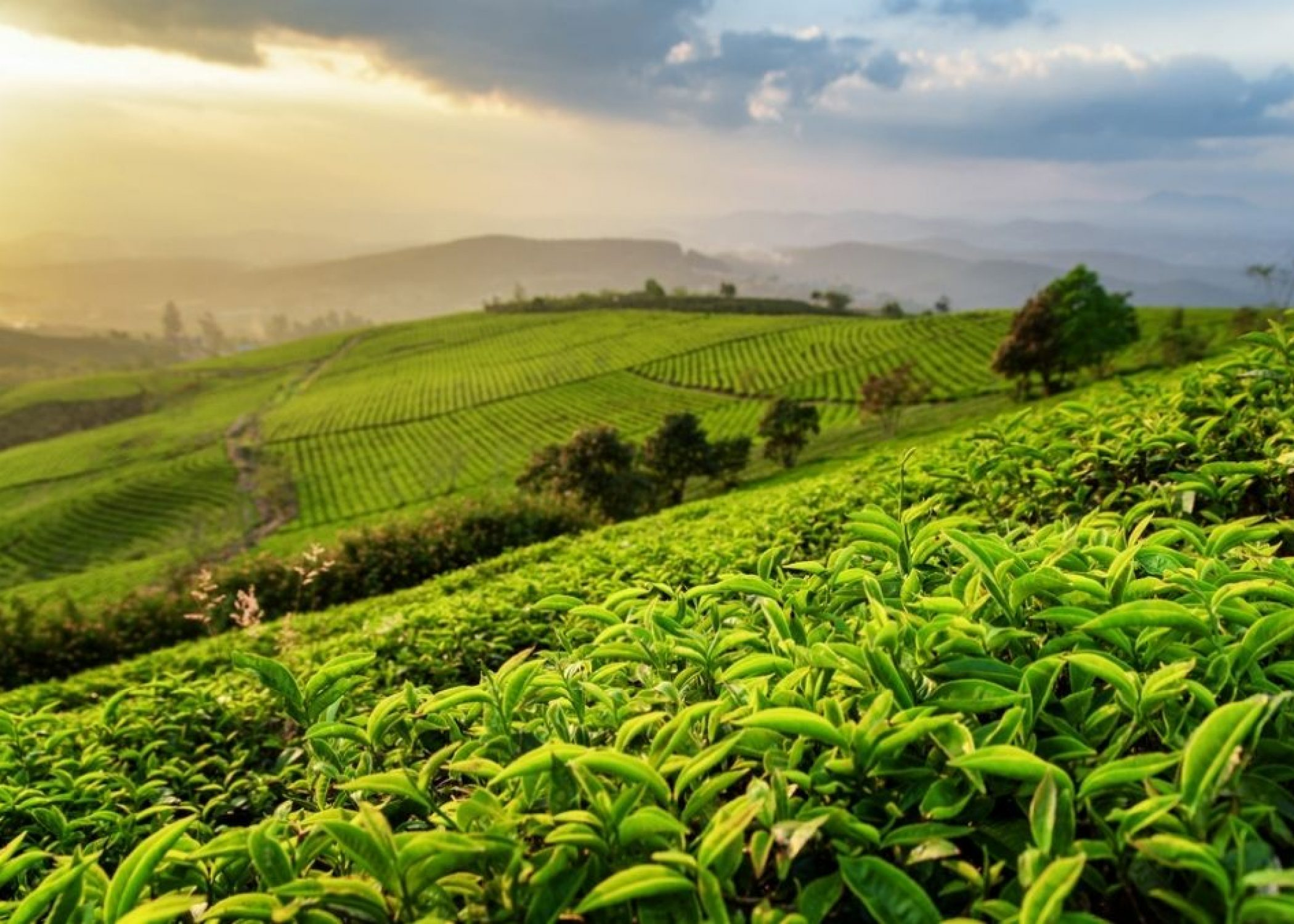 What Plant Does Tea Come From?