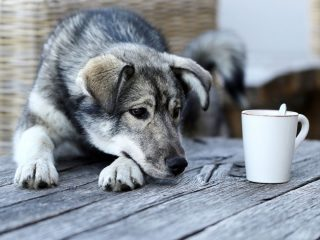 husky puppy stares at a white tea cup on a rustic picnic table. can dogs drink green tea