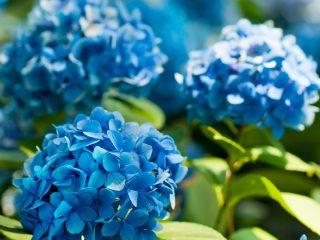 blue hydrangeas like tea leaves in acidic soil